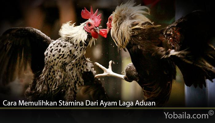 Cara Memulihkan Stamina Dari Ayam Laga Aduan